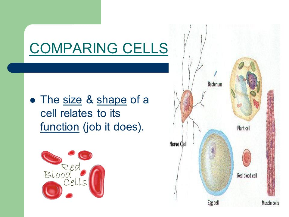 COMPARING CELLS The size & shape of a cell relates to its function (job it does).