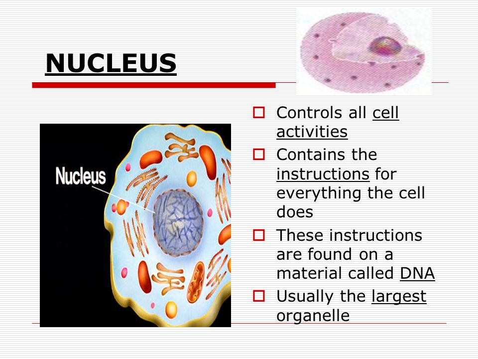 NUCLEUS Controls all cell activities