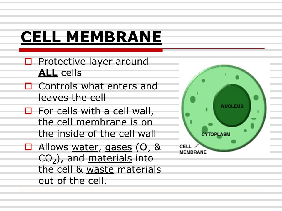 CELL MEMBRANE Protective layer around ALL cells