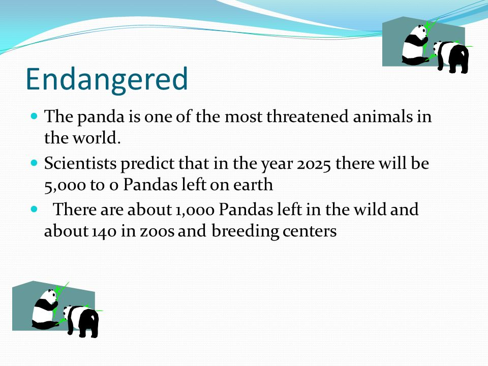 Endangered The panda is one of the most threatened animals in the world.