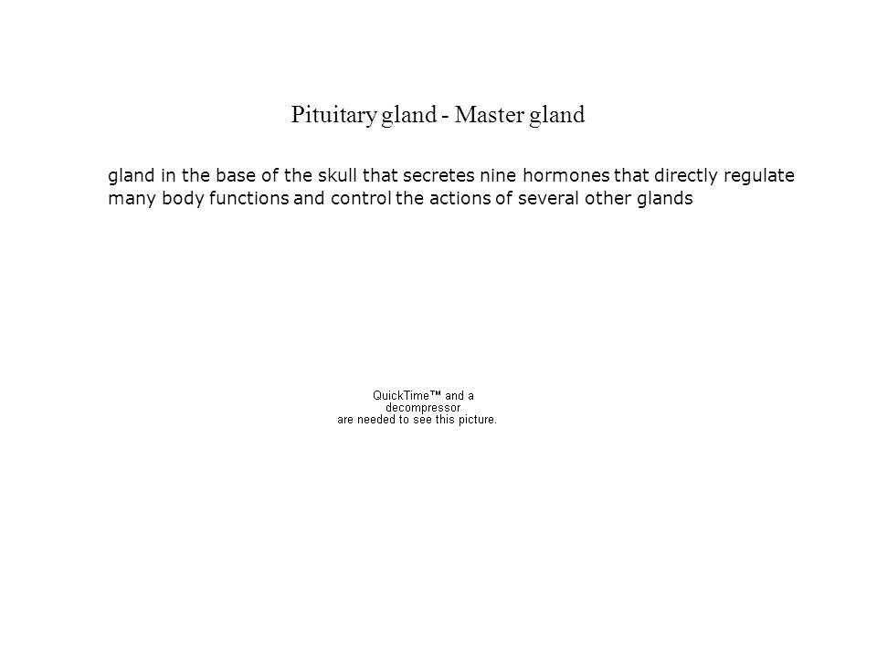 Pituitary gland - Master gland