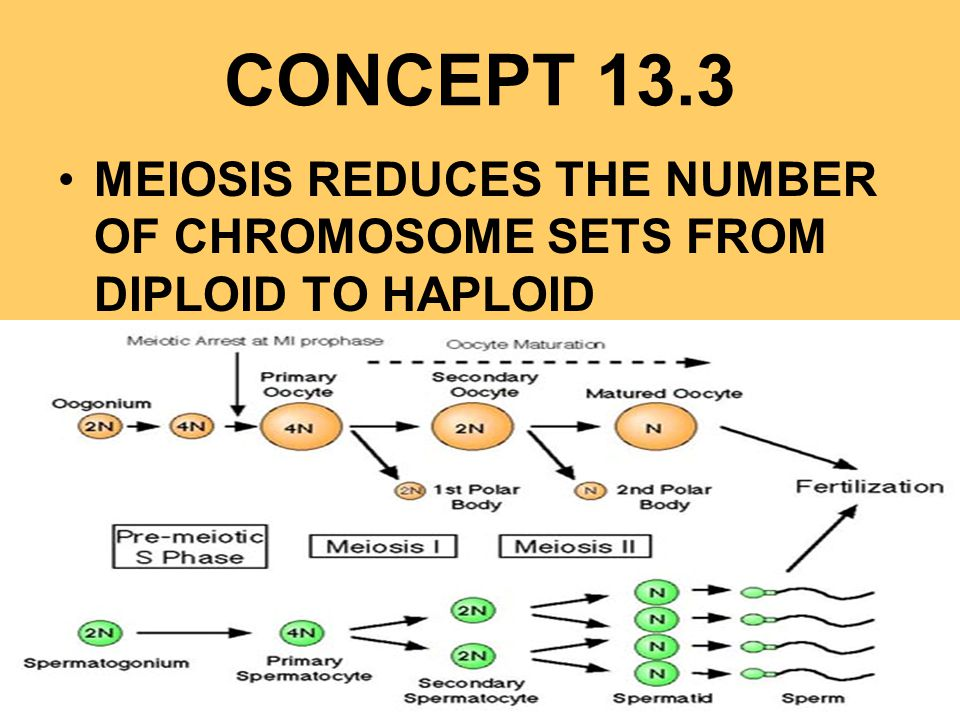 CONCEPT 13.3 MEIOSIS REDUCES THE NUMBER OF CHROMOSOME SETS FROM DIPLOID TO HAPLOID