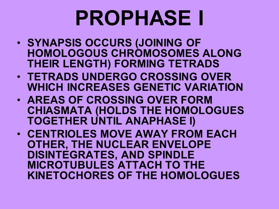 PROPHASE I SYNAPSIS OCCURS (JOINING OF HOMOLOGOUS CHROMOSOMES ALONG THEIR LENGTH) FORMING TETRADS.