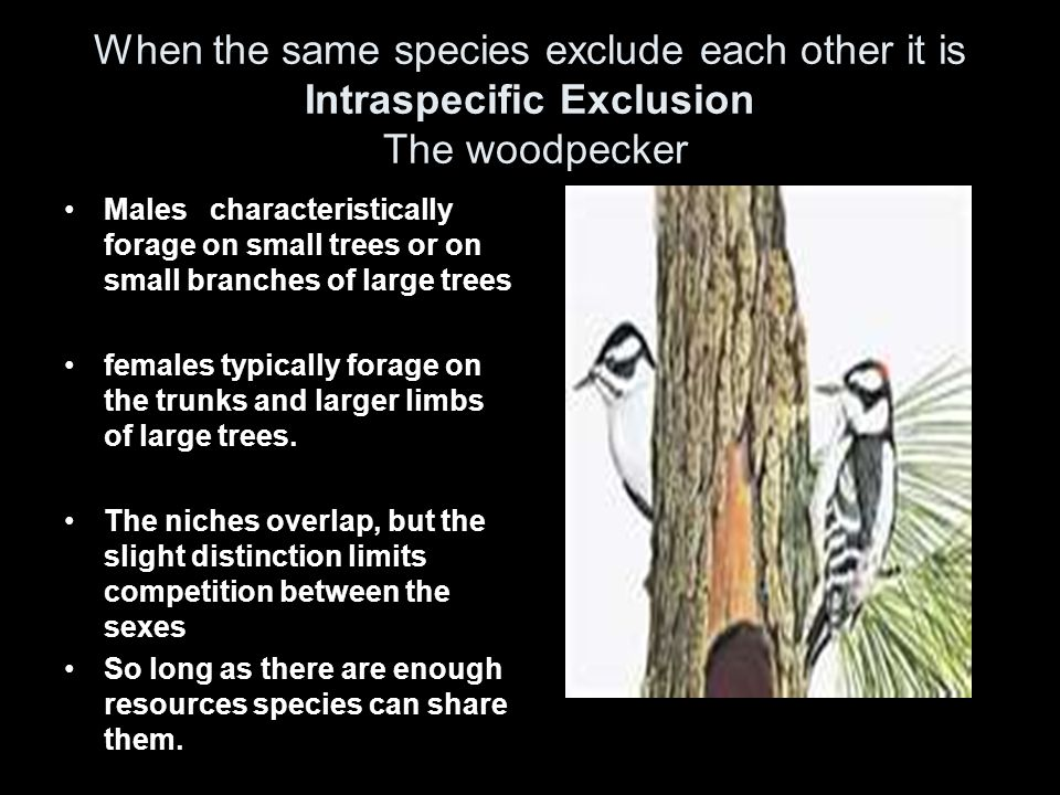 When the same species exclude each other it is Intraspecific Exclusion The woodpecker