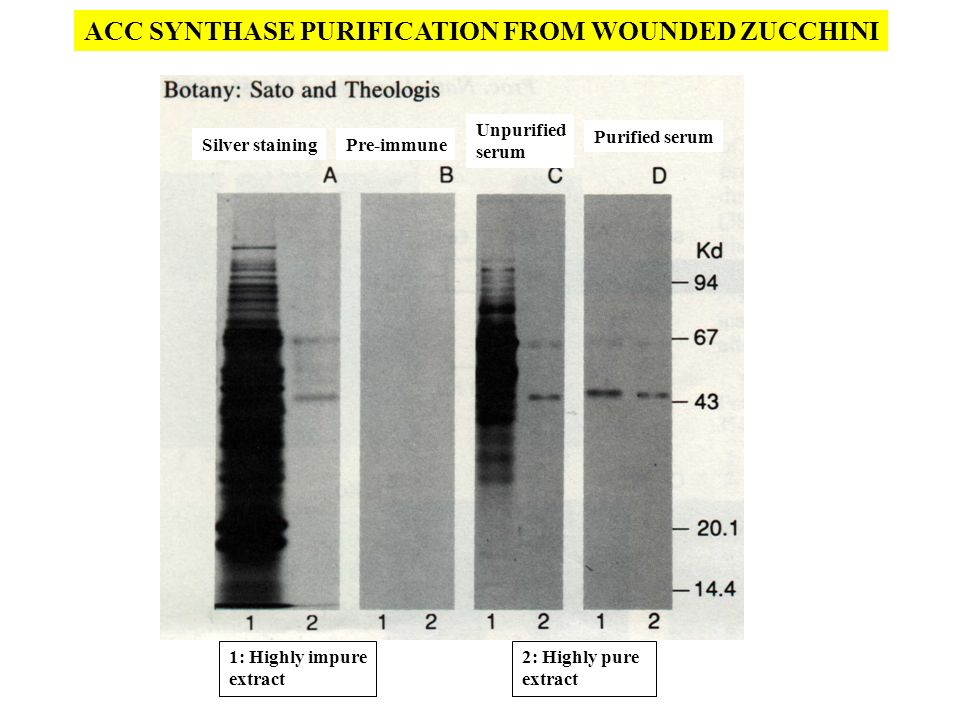 ACC SYNTHASE PURIFICATION FROM WOUNDED ZUCCHINI