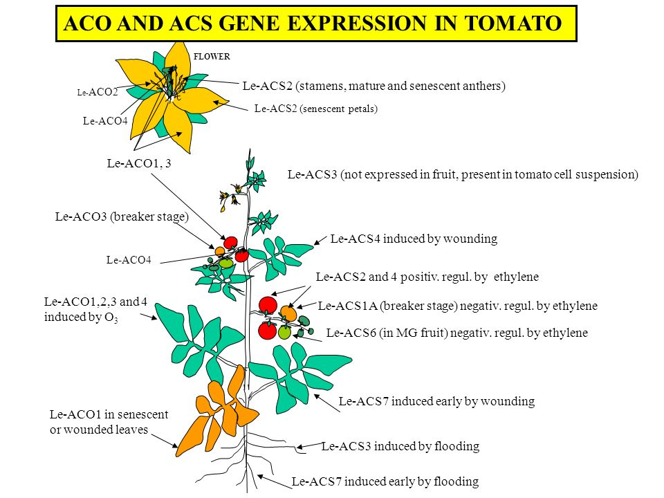 ACO AND ACS GENE EXPRESSION IN TOMATO