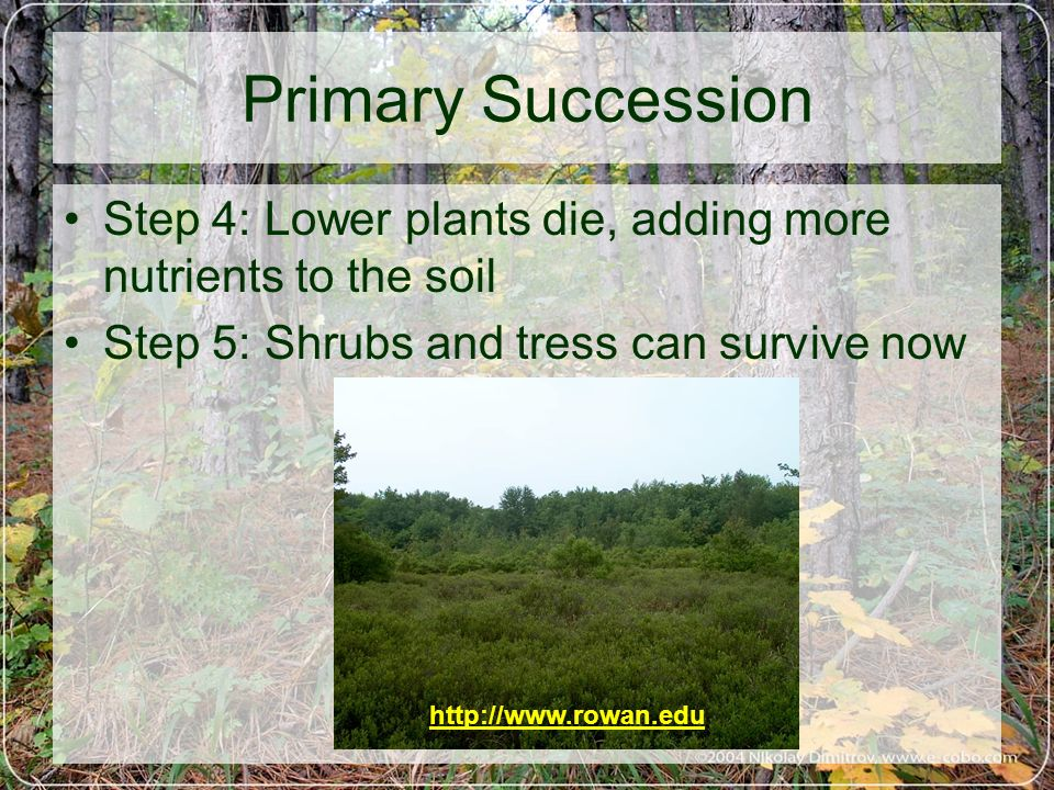 Primary Succession Step 4: Lower plants die, adding more nutrients to the soil. Step 5: Shrubs and tress can survive now.