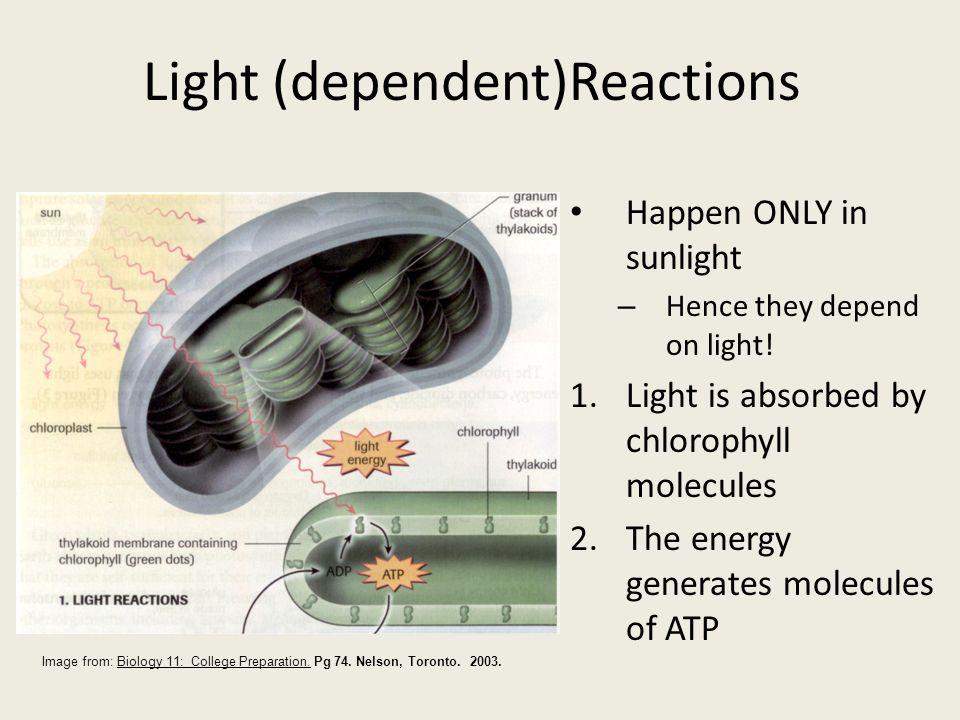Light (dependent)Reactions