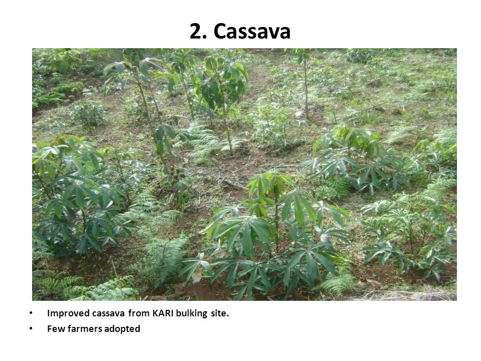 2. Cassava Improved cassava from KARI bulking site.