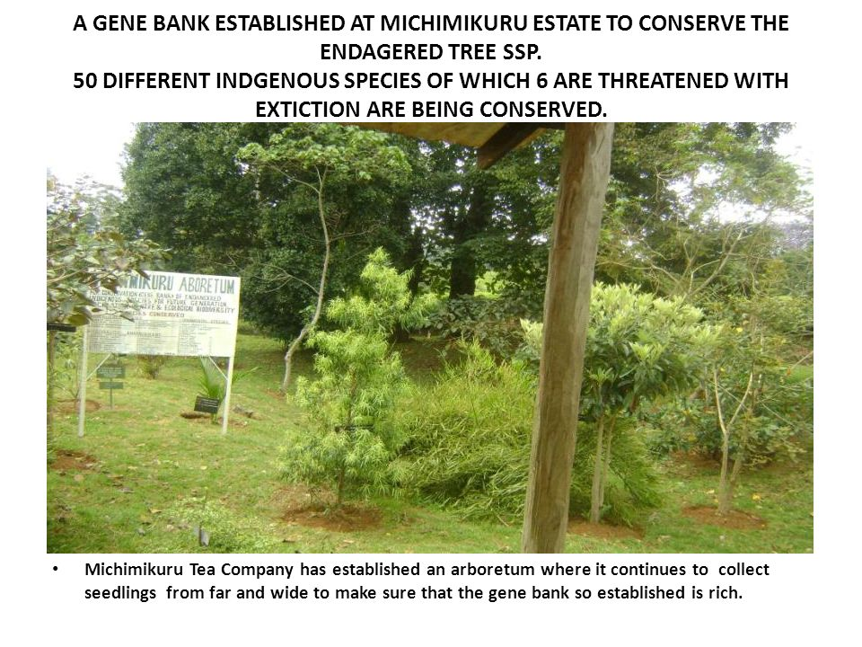 A GENE BANK ESTABLISHED AT MICHIMIKURU ESTATE TO CONSERVE THE ENDAGERED TREE SSP. 50 DIFFERENT INDGENOUS SPECIES OF WHICH 6 ARE THREATENED WITH EXTICTION ARE BEING CONSERVED.