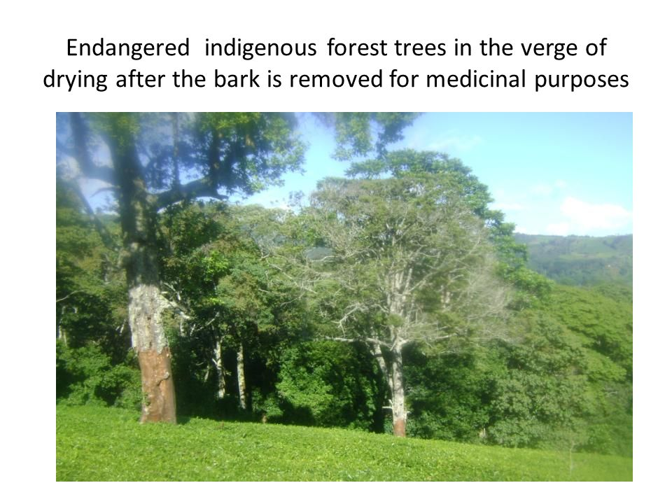 Endangered indigenous forest trees in the verge of drying after the bark is removed for medicinal purposes