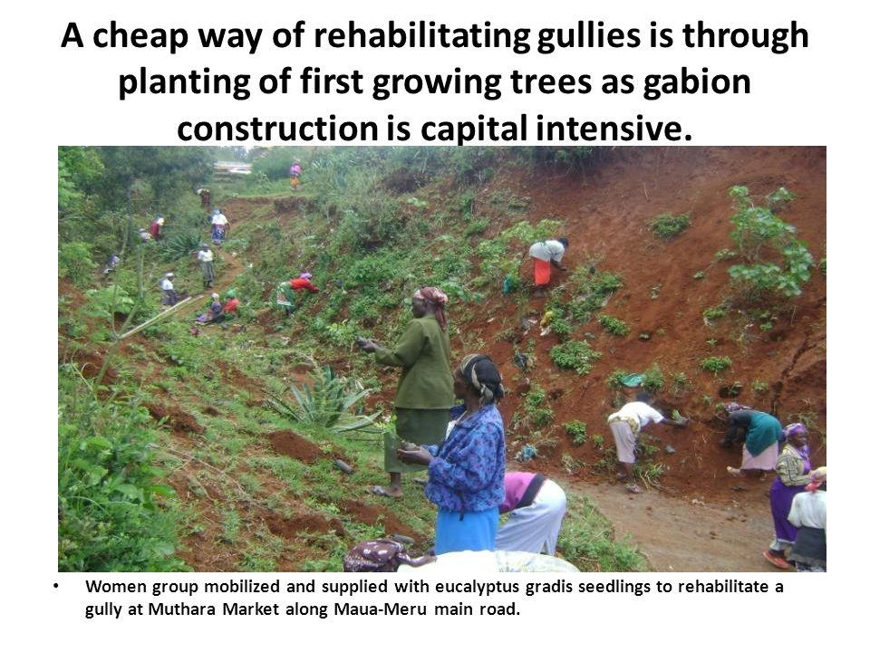 A cheap way of rehabilitating gullies is through planting of first growing trees as gabion construction is capital intensive.
