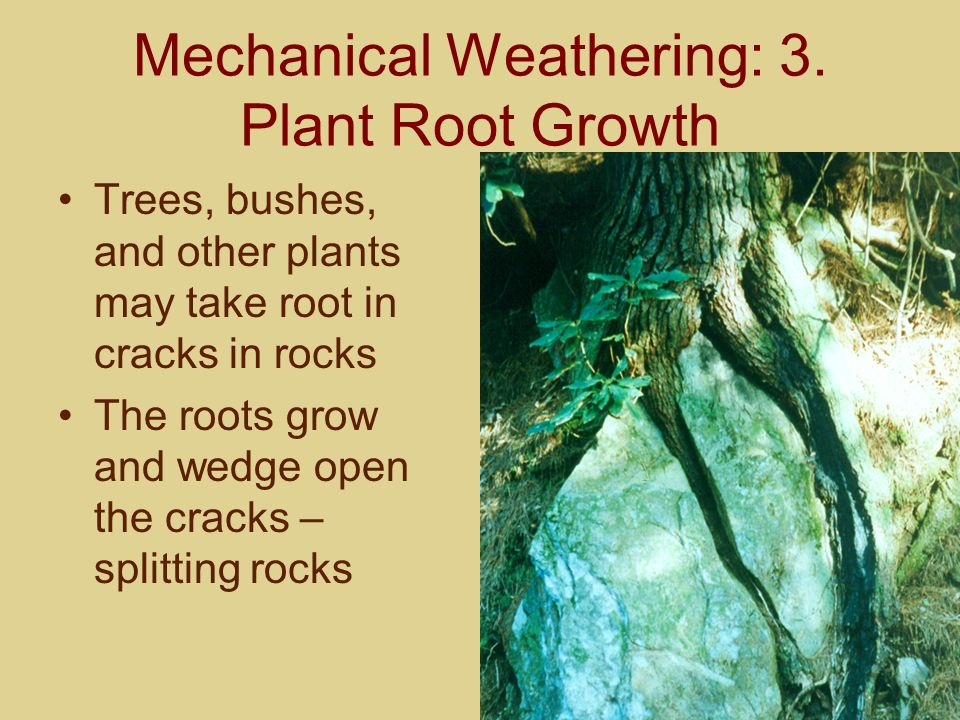Mechanical Weathering: 3. Plant Root Growth