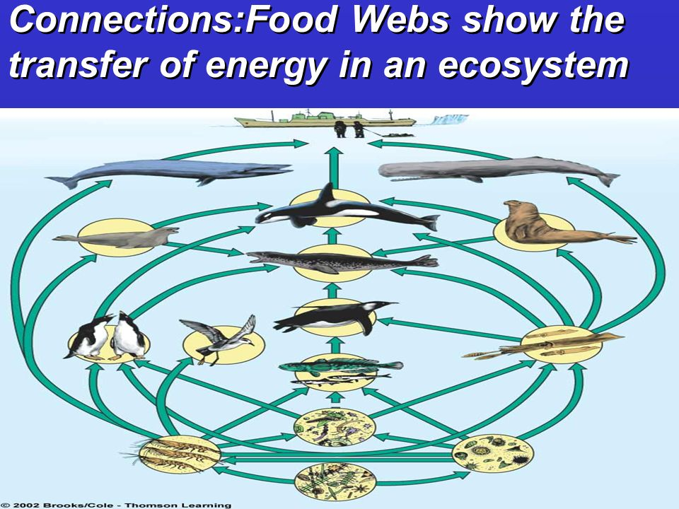 Connections:Food Webs show the transfer of energy in an ecosystem