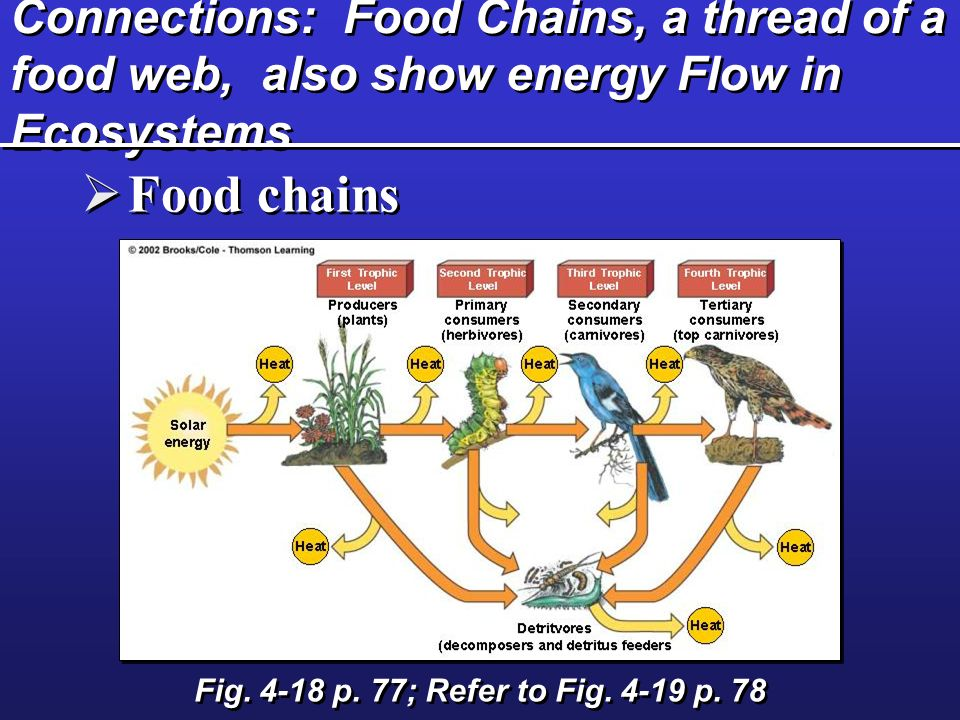 Connections: Food Chains, a thread of a food web, also show energy Flow in Ecosystems