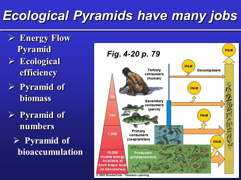 Ecological Pyramids have many jobs