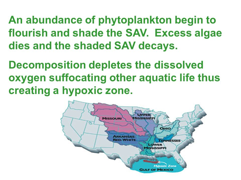 An abundance of phytoplankton begin to flourish and shade the SAV
