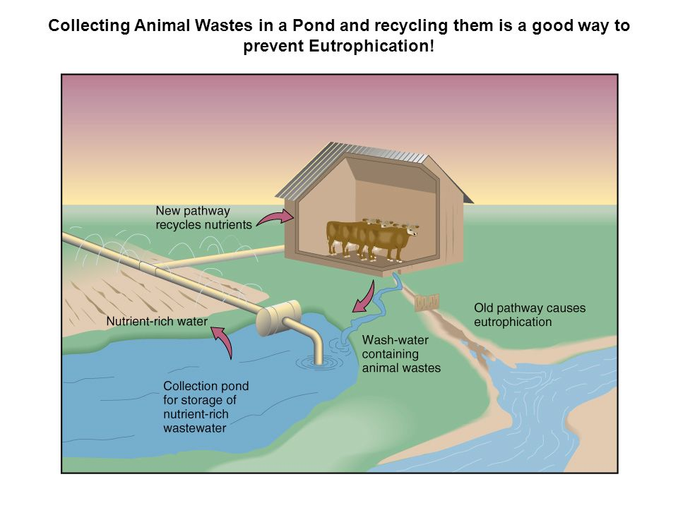 Collecting Animal Wastes in a Pond and recycling them is a good way to prevent Eutrophication!