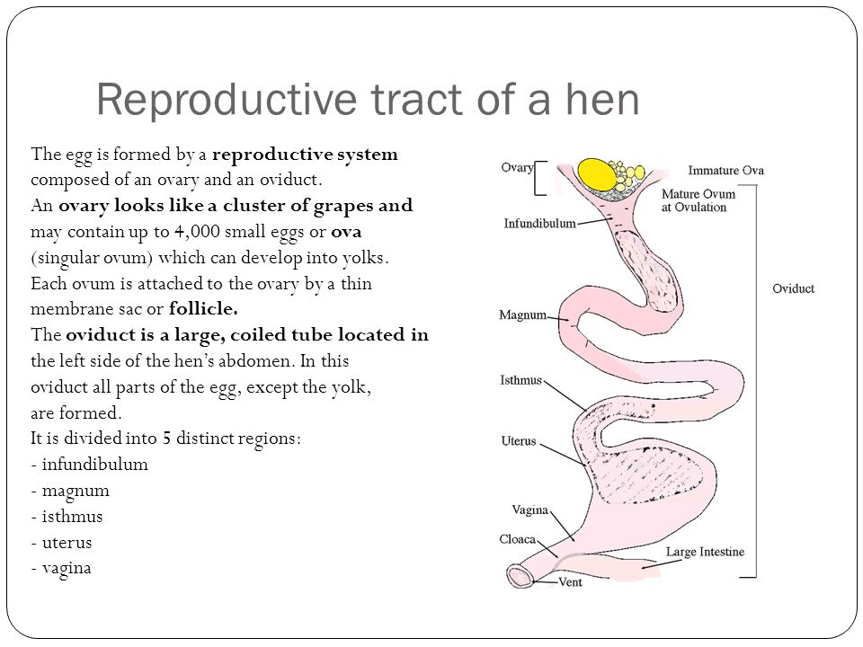 Reproductive tract of a hen