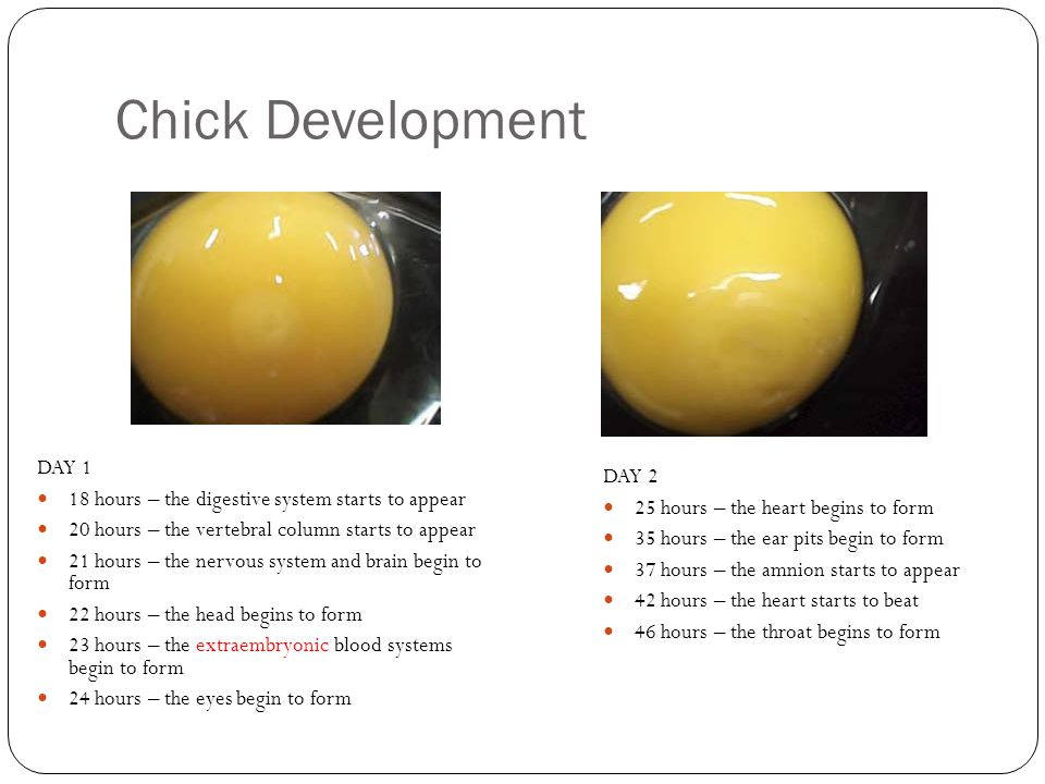 Chick Development DAY 1. 18 hours – the digestive system starts to appear. 20 hours – the vertebral column starts to appear.