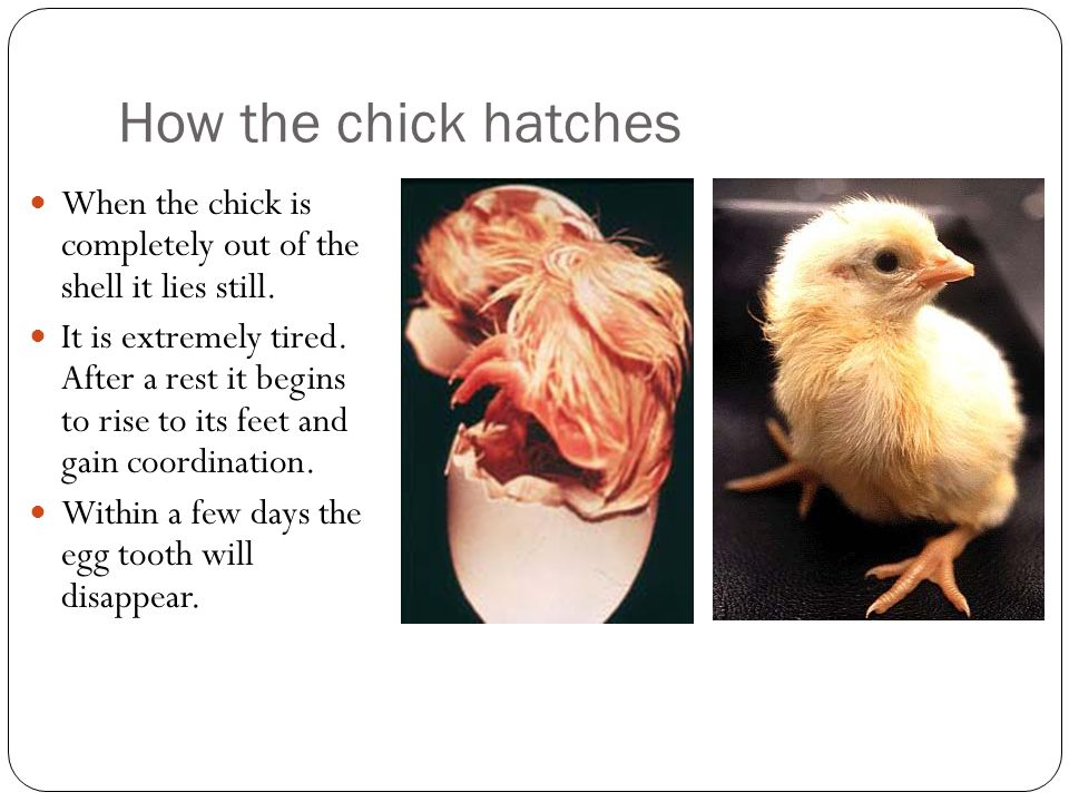 How the chick hatches When the chick is completely out of the shell it lies still.