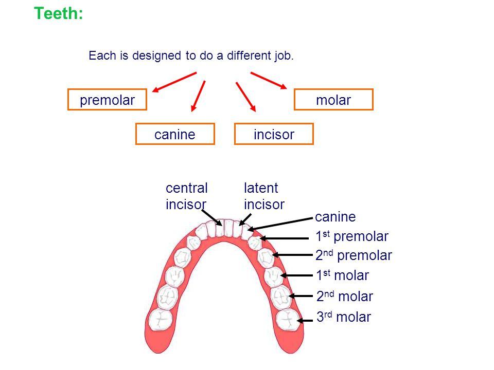 Teeth: premolar molar canine incisor canine 2nd premolar