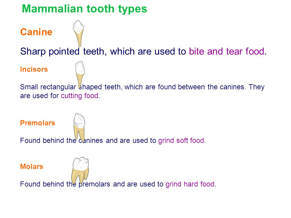 Mammalian tooth types Canine