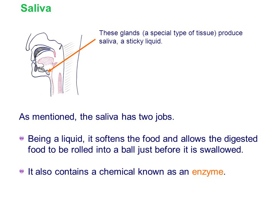 Saliva As mentioned, the saliva has two jobs.
