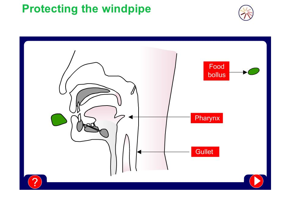 Protecting the windpipe