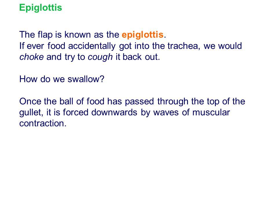 Epiglottis The flap is known as the epiglottis.
