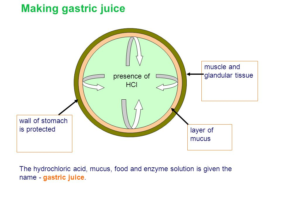 Making gastric juice muscle and glandular tissue presence of HCl
