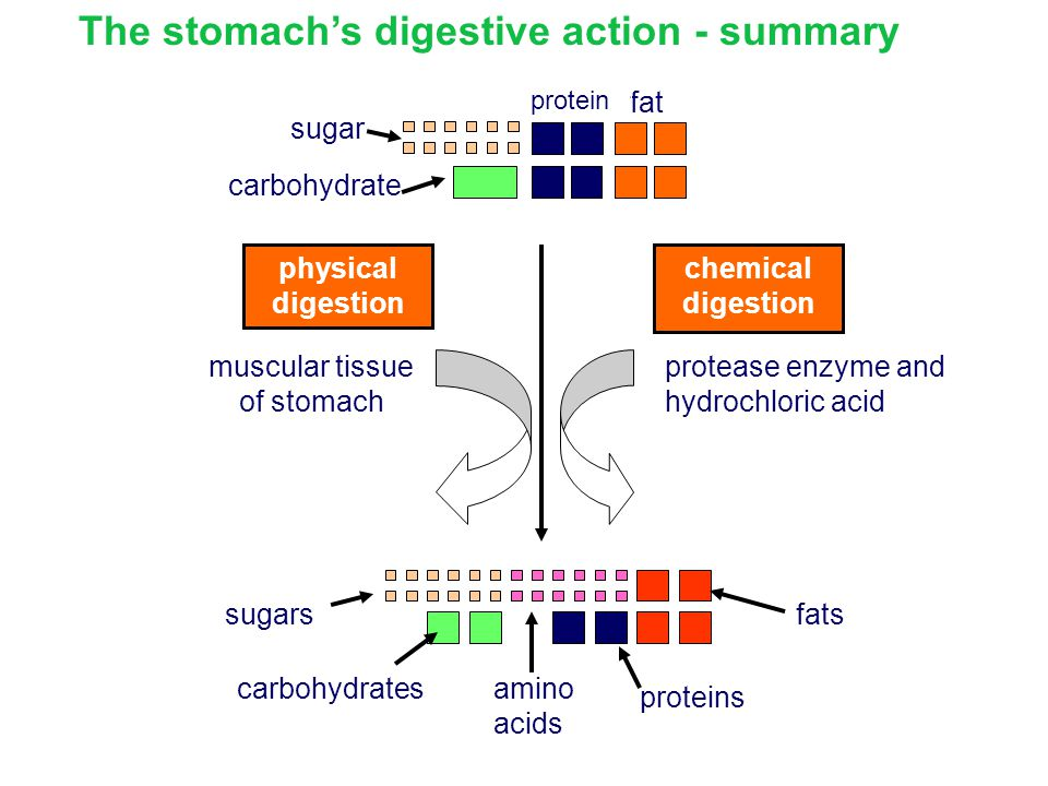 The stomach's digestive action - summary