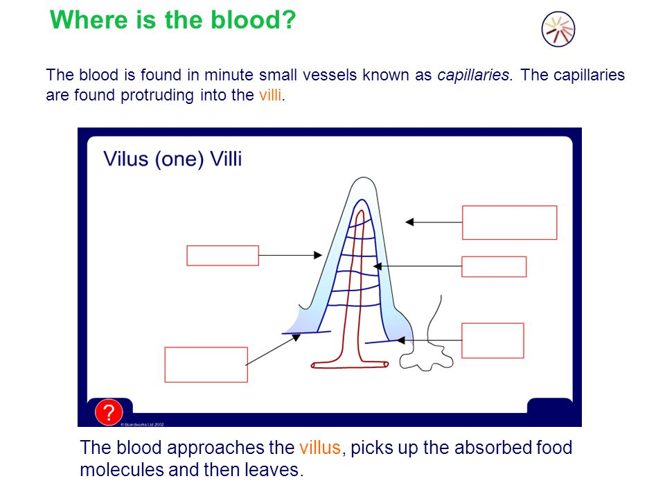 Where is the blood The blood is found in minute small vessels known as capillaries. The capillaries are found protruding into the villi.