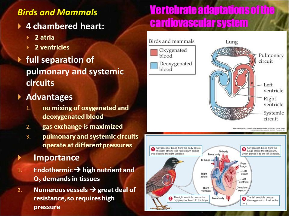 Vertebrate adaptations of the cardiovascular system