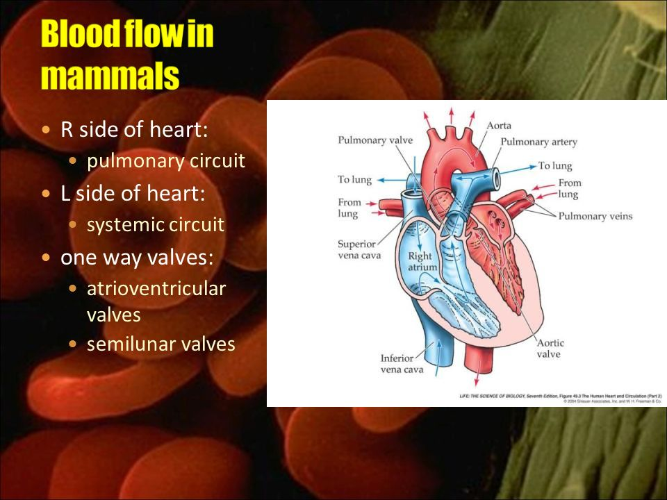Blood flow in mammals R side of heart: L side of heart: