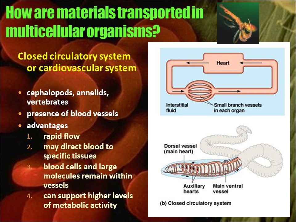How are materials transported in multicellular organisms