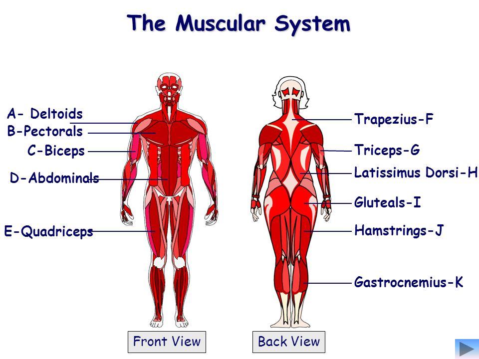 The Muscular System A- Deltoids Trapezius-F B-Pectorals C-Biceps