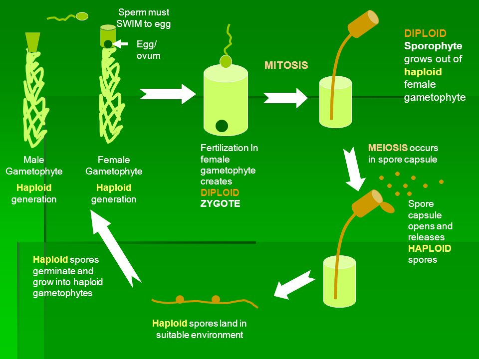Haploid spores land in suitable environment