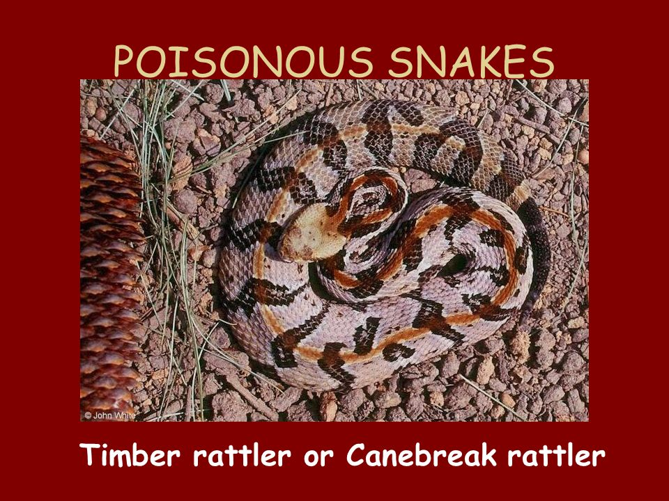 POISONOUS SNAKES Timber rattler or Canebreak rattler
