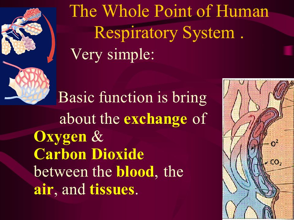 The Whole Point of Human Respiratory System .