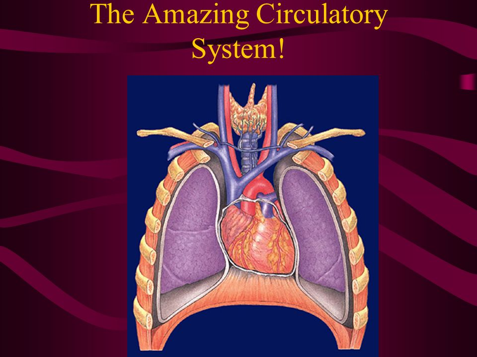 The Amazing Circulatory System!
