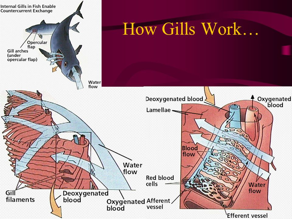 How Gills Work…