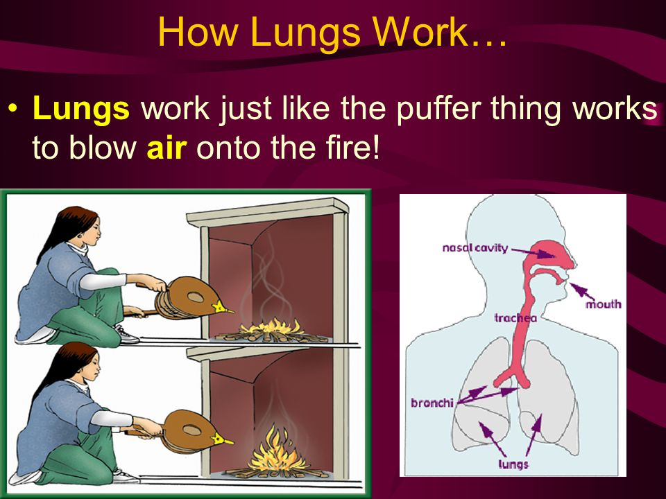 How Lungs Work… Lungs work just like the puffer thing works to blow air onto the fire!
