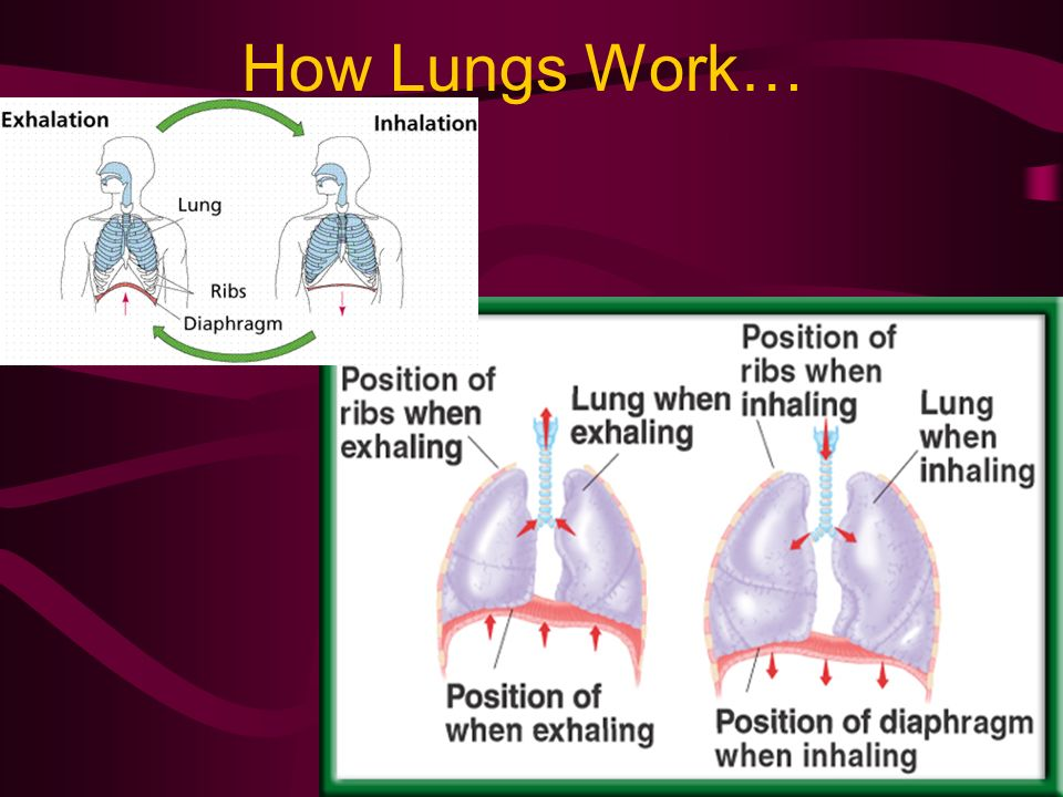 How Lungs Work…