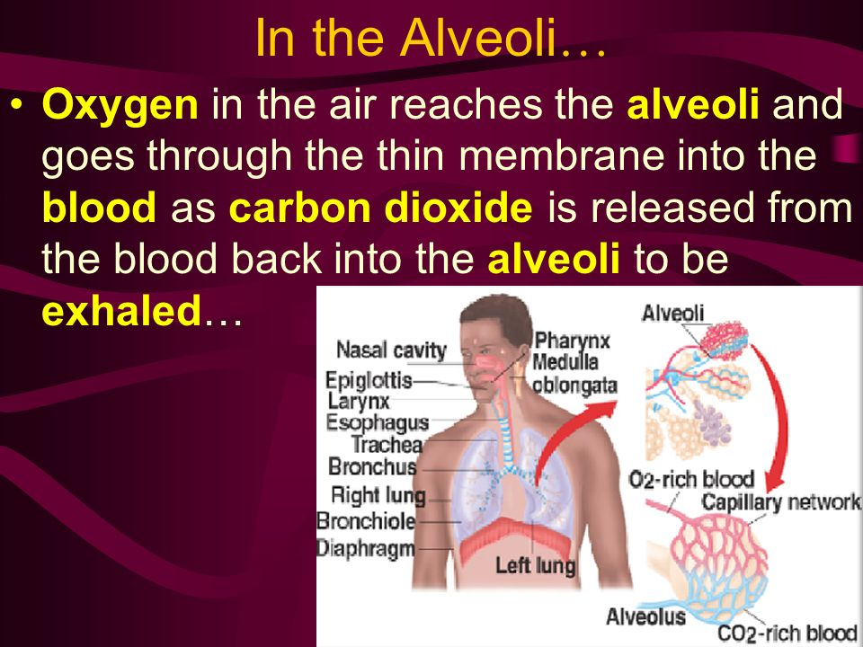 In the Alveoli…