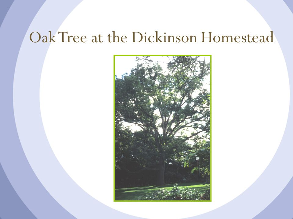 Oak Tree at the Dickinson Homestead
