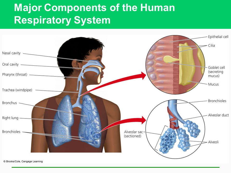 Major Components of the Human Respiratory System