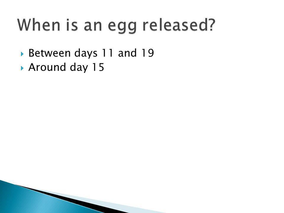 When is an egg released Between days 11 and 19 Around day 15