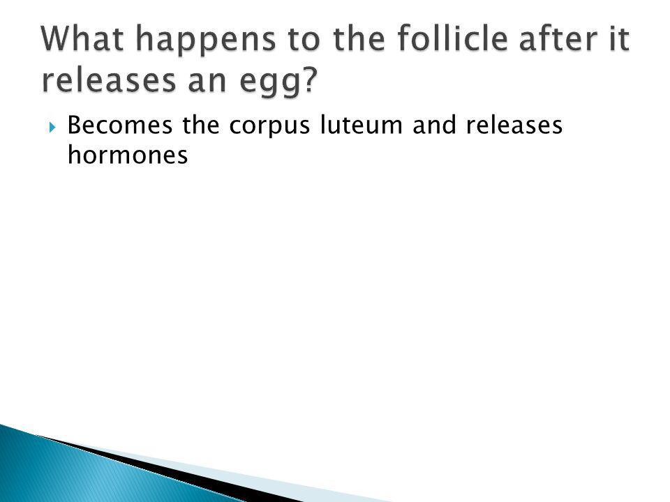 What happens to the follicle after it releases an egg