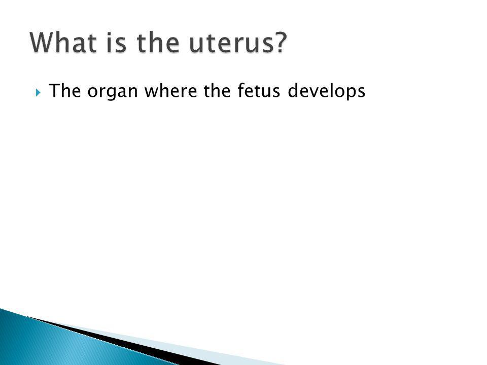 What is the uterus The organ where the fetus develops
